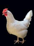 母鸡白色 库存图片
