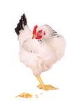 母鸡白色 免版税库存图片