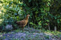 母鸡的边2 库存图片
