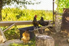 母鸡的鸡在轴的 库存图片