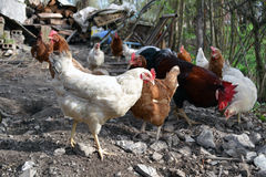 母鸡群在农场寻找蠕虫 库存照片