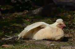母鸡舒展 库存图片