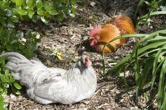 母鸡雄鸡 库存图片