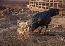 母鸡,小鸡,棘手 库存照片