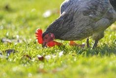 母鸡-自由饲养 图库摄影