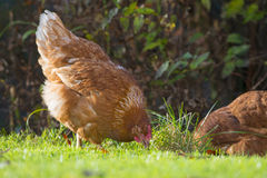 母鸡-自由饲养 免版税库存照片
