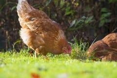 母鸡-自由饲养 免版税库存图片