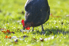 母鸡-自由饲养 库存图片