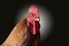母鸡画象, 免版税库存照片