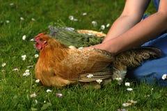 母鸡画象 免版税图库摄影