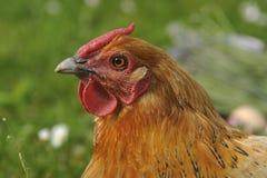 母鸡画象 库存照片