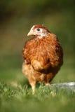 母鸡年轻人 免版税库存图片