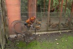 母鸡/雄鸡在托菲诺植物园里监督其他笼中的母鸡/雄鸡 图库摄影
