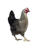 黑母鸡 免版税库存照片