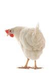 母鸡 图库摄影