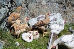 母鸡 免版税库存照片