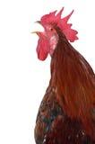 母鸡 库存照片