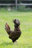 母鸡silkie 库存照片