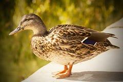 母鸭子 免版税库存图片
