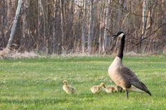 母鹅和她的幼鹅 免版税库存图片