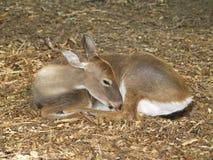母鹿休眠 图库摄影