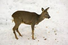 母鹿吃 免版税库存图片