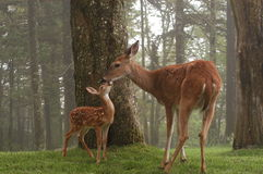母鹿和小鹿摩擦鼻子 免版税库存照片