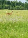 母鹿和小鹿 免版税库存照片