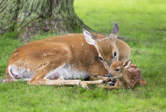 母鹿和新出生的小鹿 库存照片