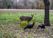 母鹿和火鸡在领域 免版税库存照片