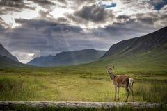 母鹿和Glencoe山 库存照片