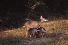 母鹿喂养她的孪生白尾鹿 免版税库存照片