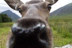 母鹿嗅照相机 库存照片
