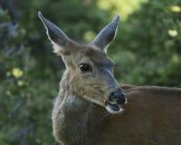 母鹿在奥林匹克原野,奥林匹克国家公园,华盛顿 免版税库存照片