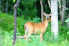 母鹿在森林里 免版税库存照片