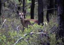 母鹿在森林 库存照片