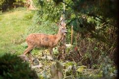 母鹿在绿色庭院里 免版税库存图片