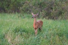 母鹿在高草站立在黎明前 免版税库存图片