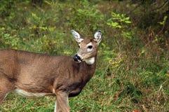 母鹿域 免版税库存图片