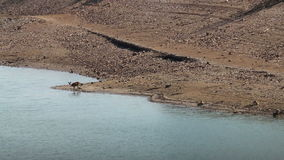 母鹿夫妇临近河塔霍河,西班牙 影视素材