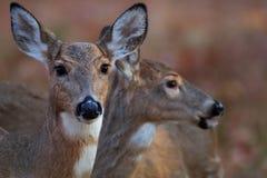 母鹿对秋天 图库摄影