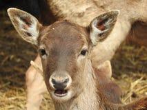 母鹿小牛 免版税库存图片