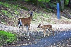 母鹿小鹿 免版税图库摄影