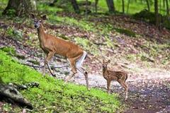 母鹿小鹿 免版税库存图片