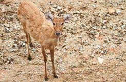 母鹿尾标白色 免版税库存图片