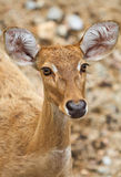母鹿尾标白色 免版税库存照片
