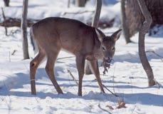 母鹿提供 免版税库存图片
