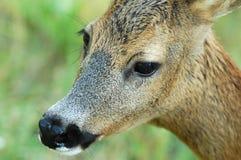 母鹿本质上 免版税库存图片