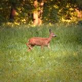 母鹿獐鹿 库存照片