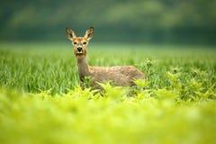 母鹿獐鹿 免版税库存照片